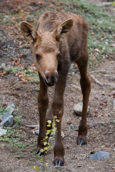 Moose calf Denali
