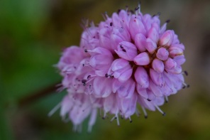 Pink Plume Alaska