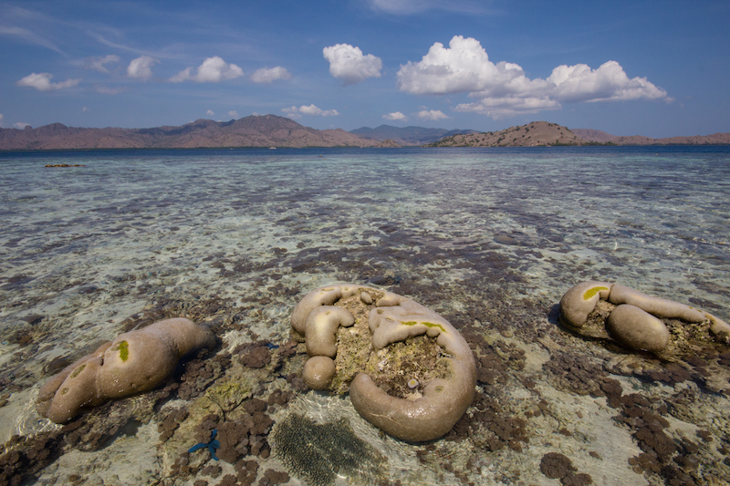 Coral Komodo