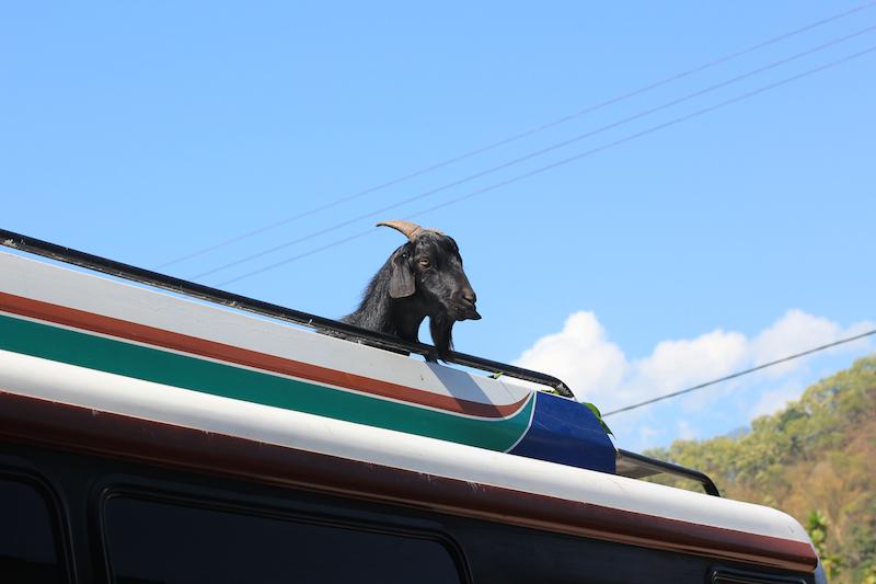 Goat on a bemo