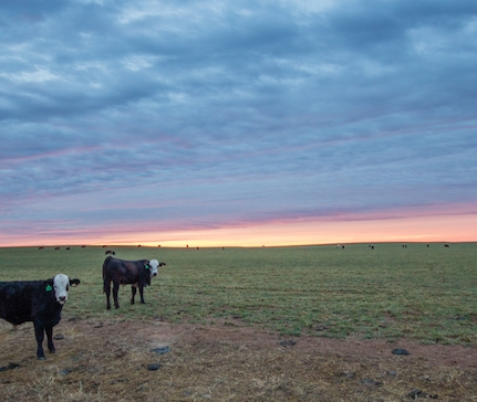 Cows in western Oklahoma