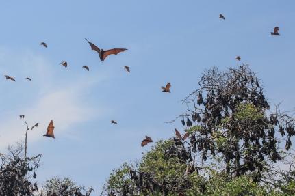Fruit Bats at 17 Islands