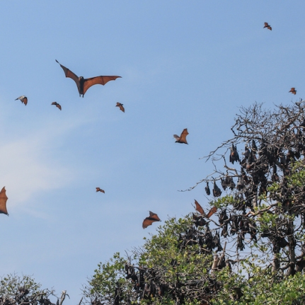 Fruit Bats at 17 Islands