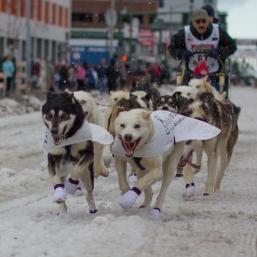 Iditarod sled dogs.