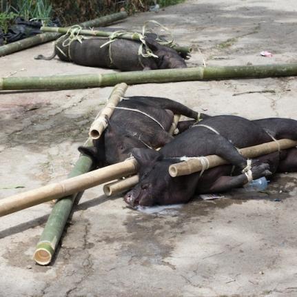 Toraja pigs