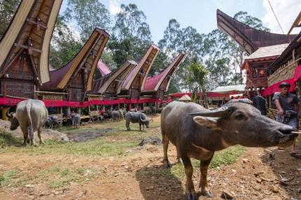 Buffalo Toraja