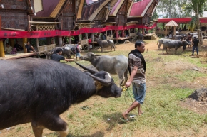The Wild Funerals of the Tana Toraja, or My Wife is a Vegetarian Now