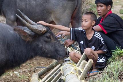 Toraja funeral buffalo