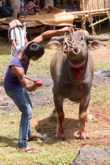 buffalo sacrifice