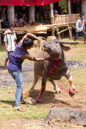 Tana Toraja sacrifice photo