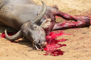 Tana Toraja Animal Sacrifice