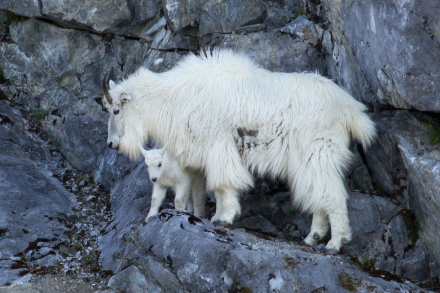 Mountain goats glacier Bay