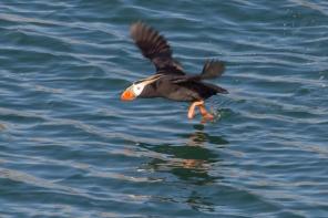 Puffin taking flight.