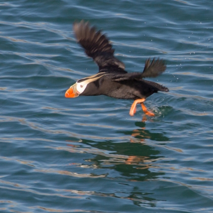 Puffin taking flight.