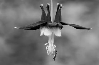 columbine flower