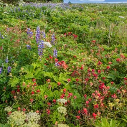 Field of wildflowers near Bartlett Cove.