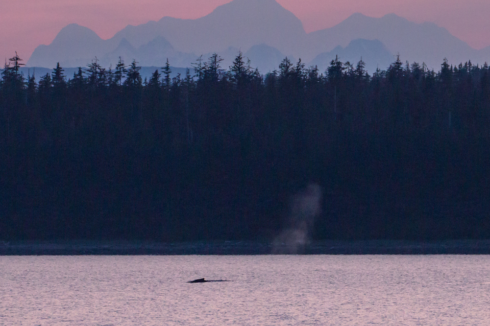 Whale at sunset
