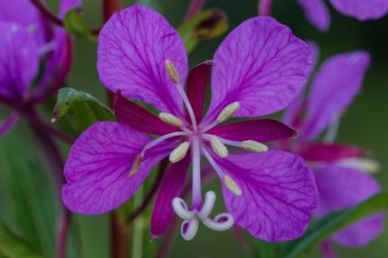 fireweed petal