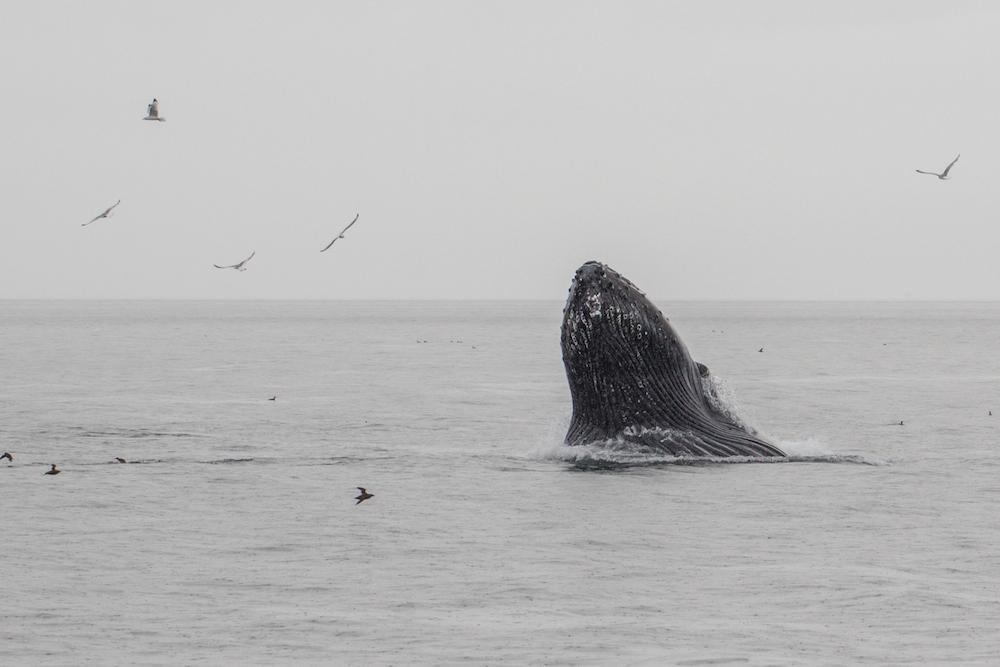 lunge feeding whale