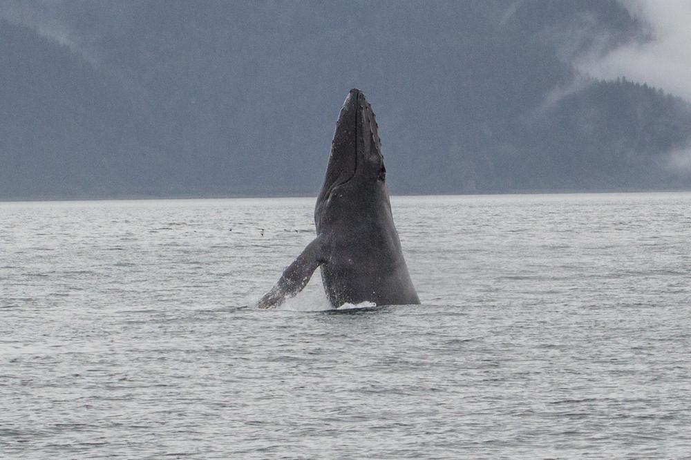 Whale head lobbing