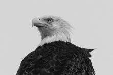 bald eagle black white