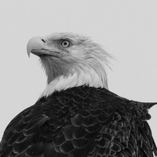 bald eagle black white