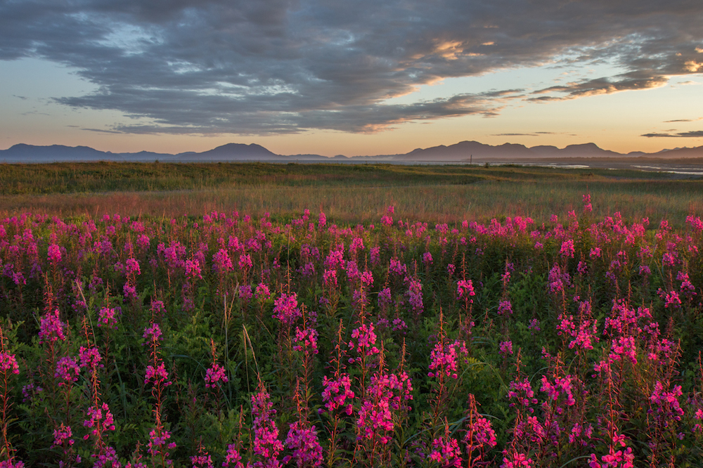Sunset with fireweed.