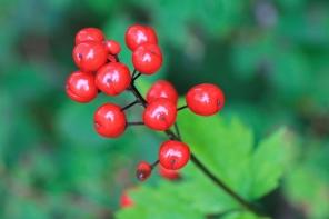 Alaska red berry