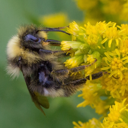 Bee on a goldenrod.