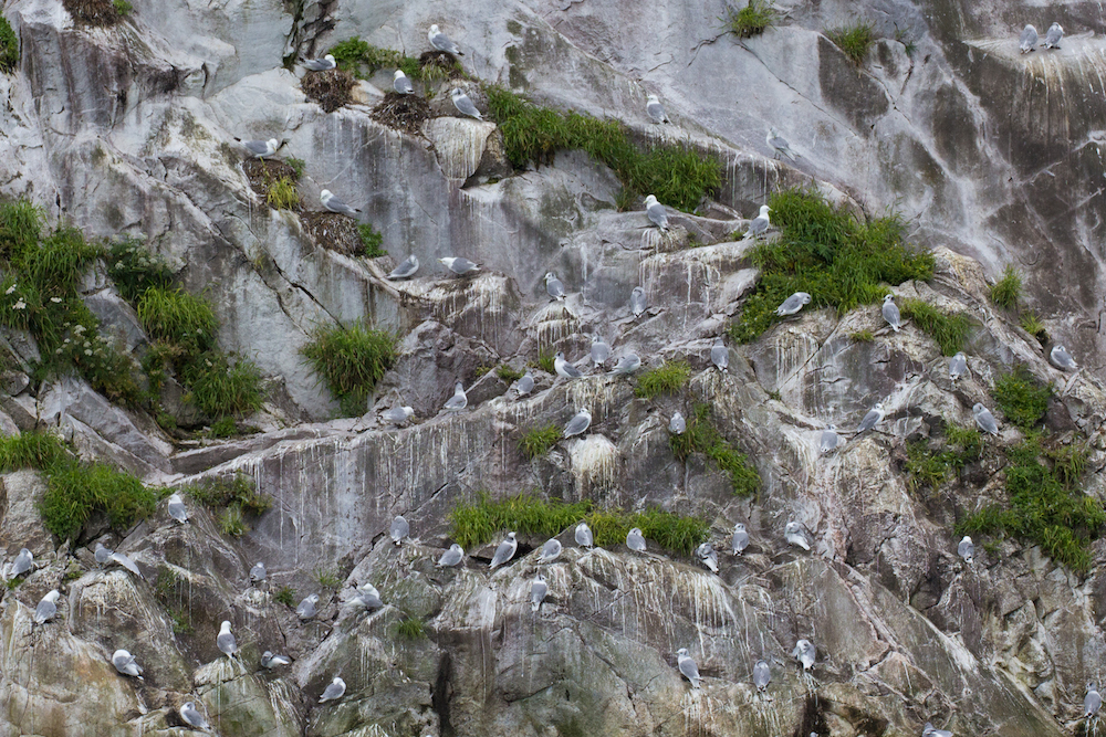 Nesting Sea Gulls on Marble Island