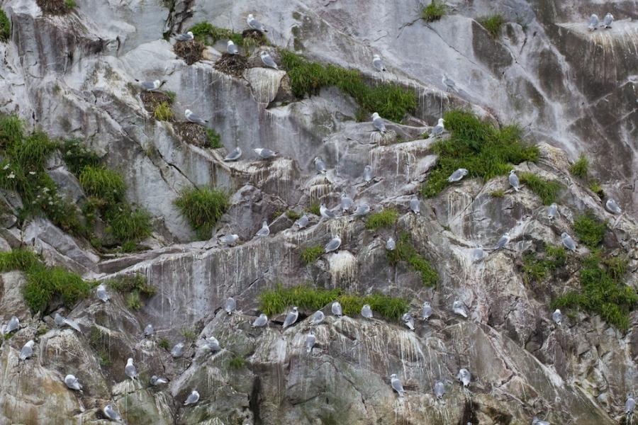 Nesting Sea Gulls on Marble Island
