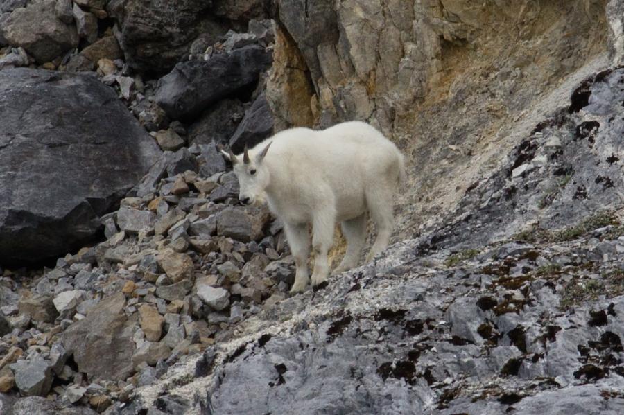 Mountain Goat Glacier Bay Boat Tour