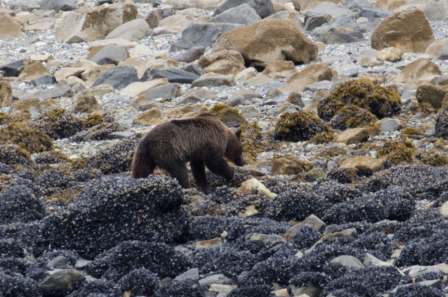 Brown Bear in Glacier Bay