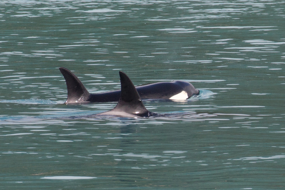 Orcas in Glacier Bay