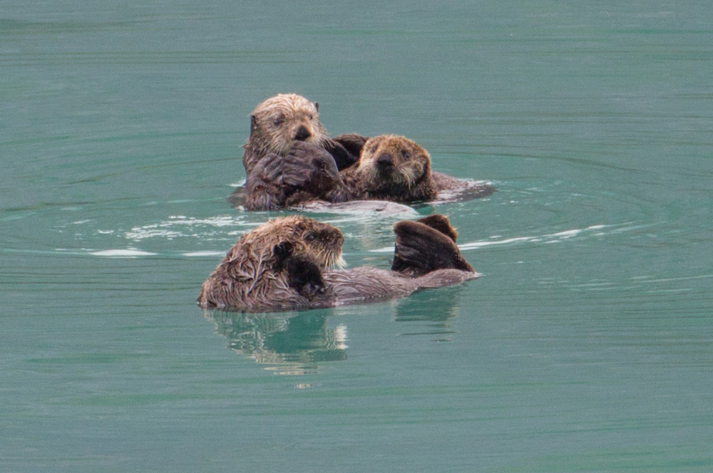 Glacier Bay Otters