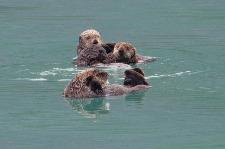 Glacier Bay Otters