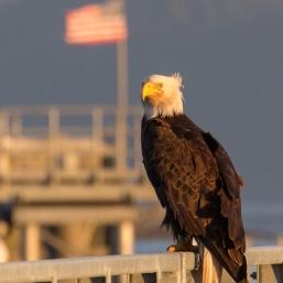 Bald Eagle Alaska