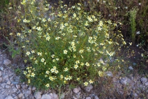 Copper Canyon wildflowers