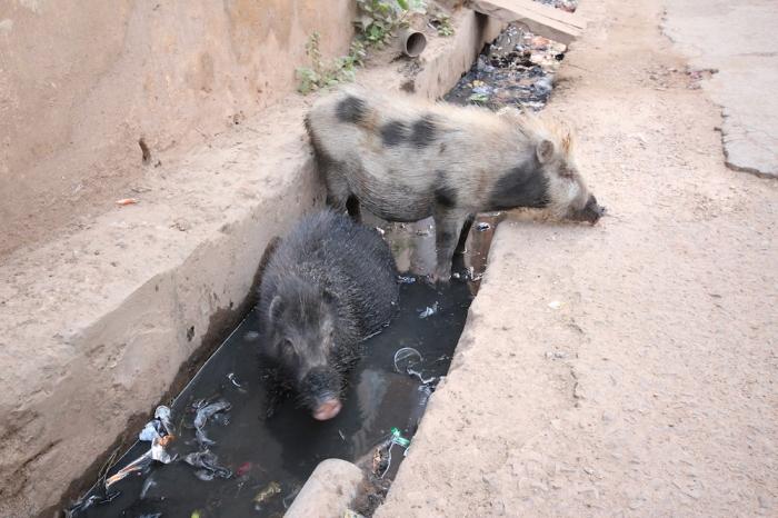 Pig poop India