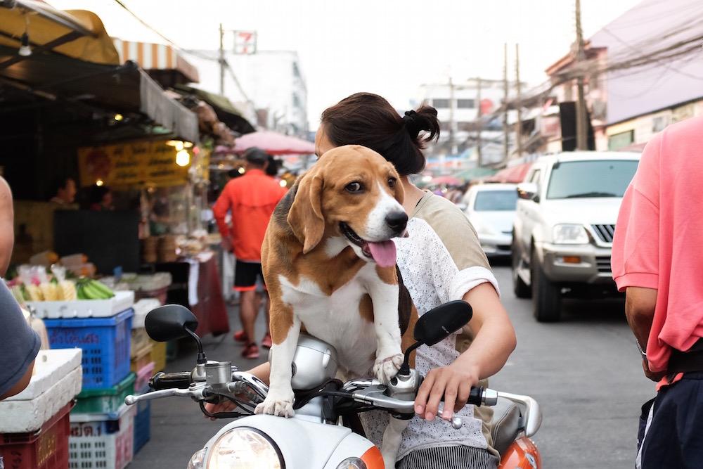 Dog on Motorbike Bangkok