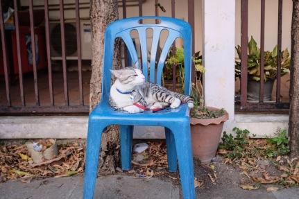 Cat on a leash in Bangkok