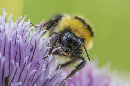 Alaska bee