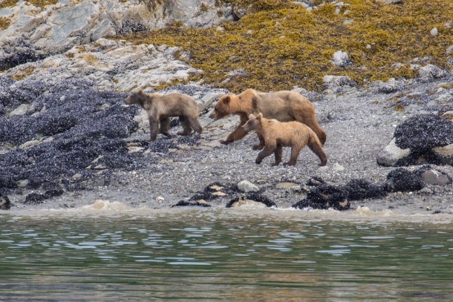 Bears in Glacier Bay