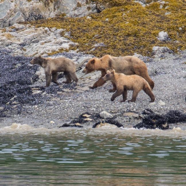 Bears in Glacier Bay