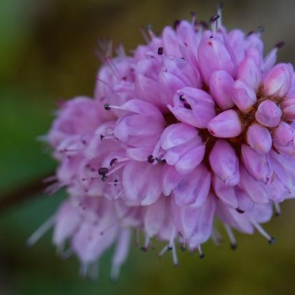 Denali pink flower