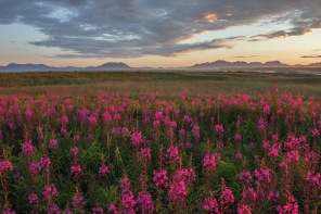 Fireweed in Alaska