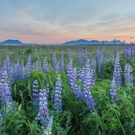 Lupine in Alaska