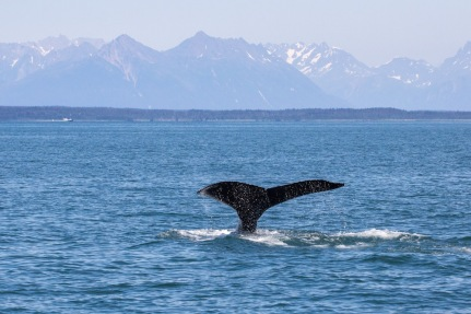 Whale in Glacier Bay