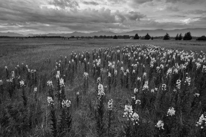 Fireweed in black and white