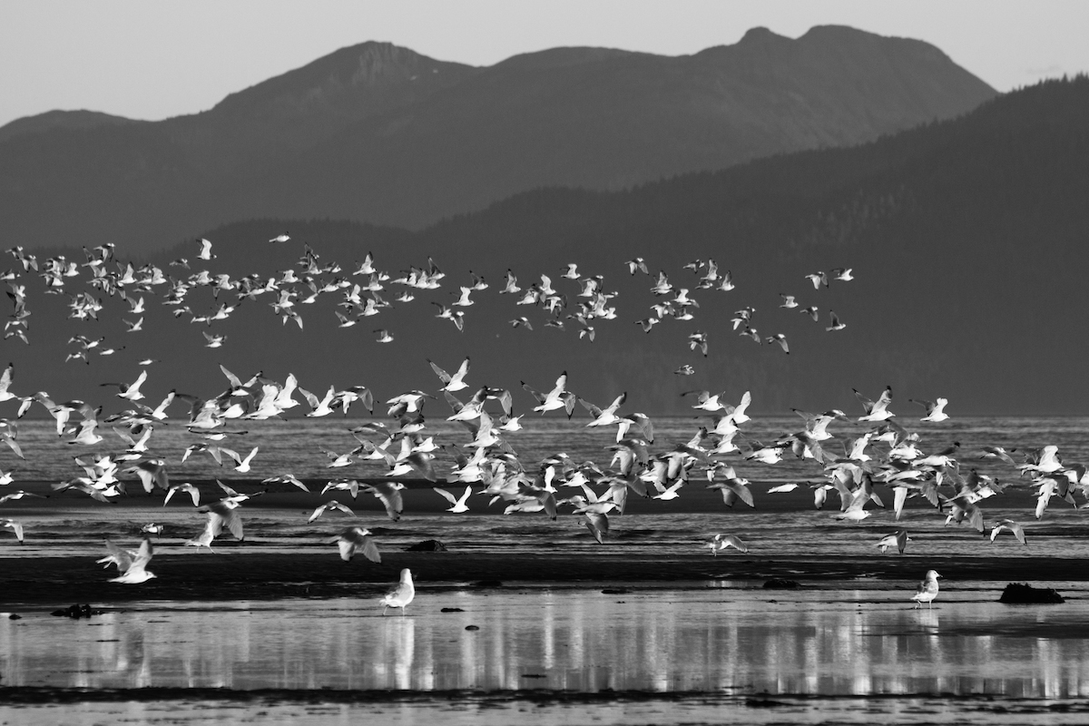 flock of seagulls black and white